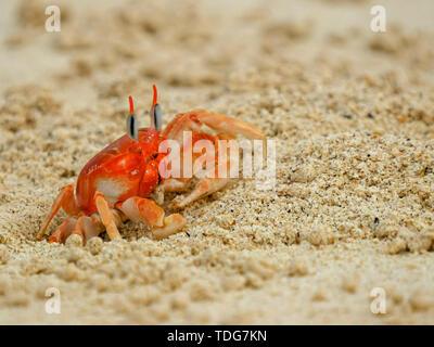 a ghost crab on a beach at isla san cristobal in the galapagos islands, ecuador - Stock Photo
