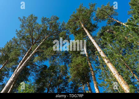 Tall pines and blue sky. High trunks of pines from the ground to the sky. Centered view with bright blue sky background. Pines for construction