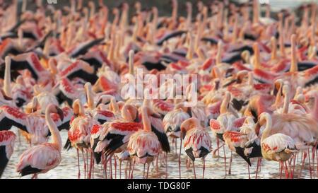 close up of a flock of lesser flamingoes  at lake bogoria in kenya - Stock Photo