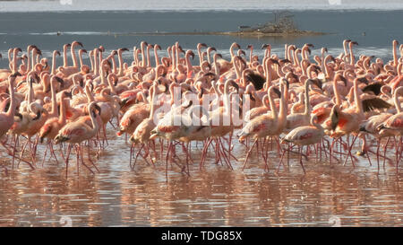 close up of lesser flamingos marching together on the shore of lake bogoria in kenya - Stock Photo