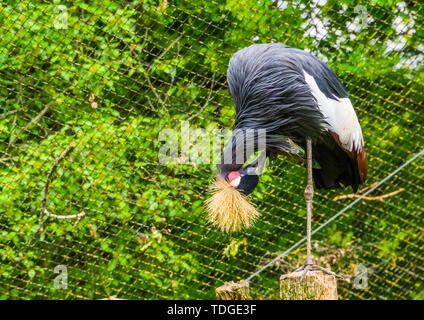 closeup of a grey crowned crane preening its feathers, tropical and endangered bird specie from Africa - Stock Photo
