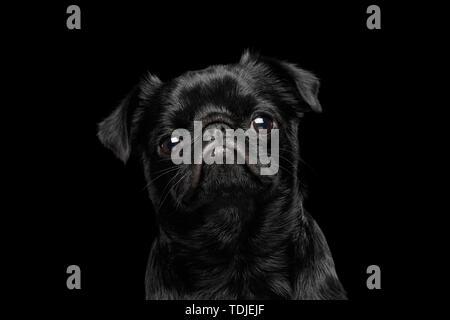 Portrait of petit brabanson dog looks sad on isolated black background, profile view - Stock Photo