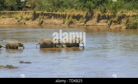 long shot of a herd of elephants starting to crossing the mara river in masai mara game reserve, kenya - Stock Photo