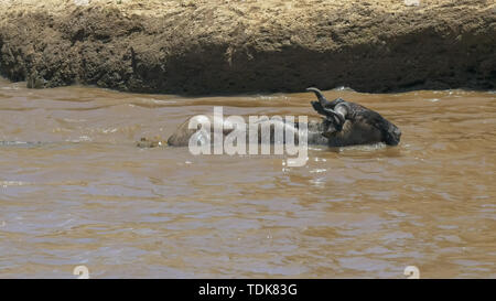 two crocodiles attack an adult wildebeest crossing the mara river in masai mara game reserve, kenya - Stock Photo