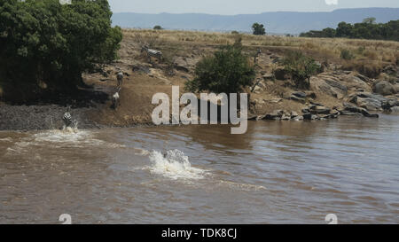 wide view of several zebra safely crossing the mara river in kenya - Stock Photo