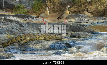 pair of egyptian geese and a crocodile by the edge of the mara river in masai mara game reserve, kenya - Stock Photo