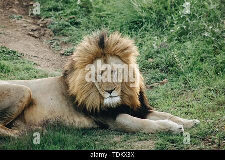 A male lion lying on the grass with his eyes closed during the day - Stock Photo