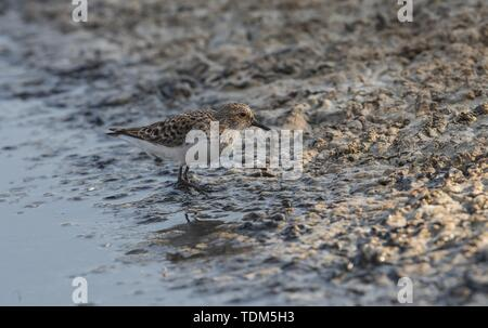 Spring migrant Llittle stint Calidris minuta adult foraging on shore mud with a caught rat tailed maggot in bill. Ghadira Nature Reserve, Malta - Stock Photo