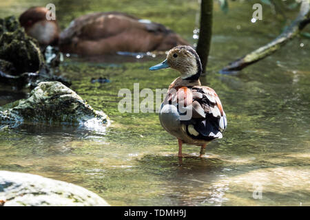 The ringed teal, Callonetta leucophrys is a small duck of South American forests. It is the only species of the genus Callonetta. - Stock Photo
