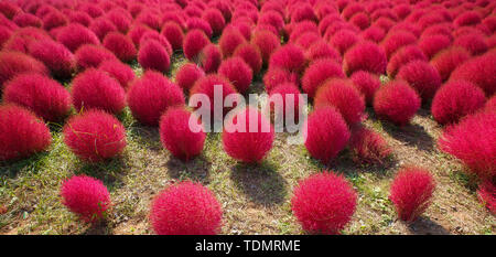Kochia in Kokuei Hitachi Seaside Park - Hitachinaka, Ibaraki, Japan - Stock Photo
