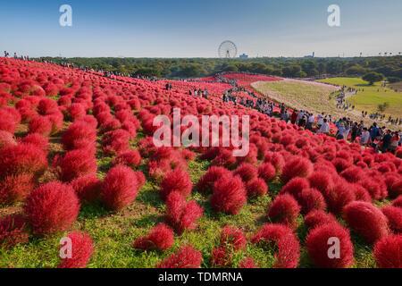 Kochia with the crowd in Kokuei Hitachi Seaside Park - Hitachinaka, Ibaraki, Japan - Stock Photo