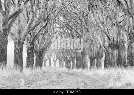 Field path through bare avenue in autumn, Swedish whitebeam (Sorbus intermedia), black and white, Eichsfeld, Thuringia, Germany - Stock Photo