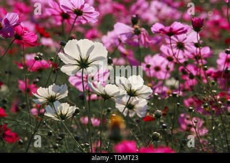 Cosmos flowers in Kokuei Hitachi Seaside Park - Hitachinaka, Ibaraki, Japan - Stock Photo