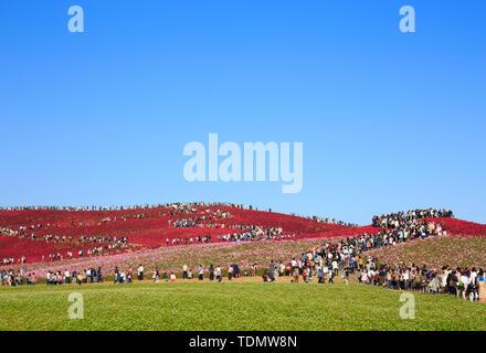 Colorful hills with a huge crowd in Kokuei Hitachi Seaside Park - Hitachinaka, Ibaraki, Japan - Stock Photo