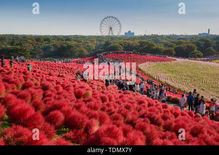 IBARAKI, JAPAN - OCTOBER 18: Kochia with the crowd on September 18, 2015 in Kokuei Hitachi Seaside Park. - Stock Photo