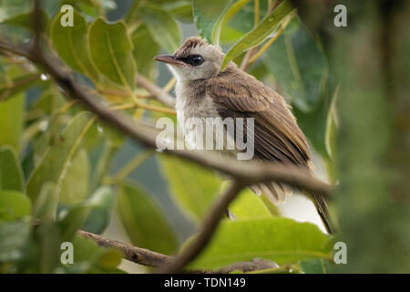 Yellow-vented Bulbul - Pycnonotus goiavier or eastern yellow-vented bulbul, member of bulbul family of passerine birds,  resident breeder in southeast - Stock Photo