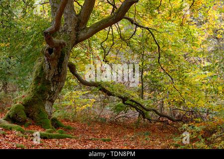 Alte Hutebuche, Fagus sylvatica, Hutewald Halloh bei Albertshausen, Bad Wildungen, Naturpark Kellerwald-Edersee, Hessen, Deutschland - Stock Photo