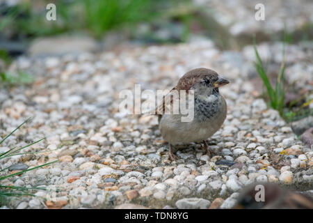 house sparrow, young male, Western Pomerania Lagoon Area National Park, Fischland-Darss-Zingst, Mecklenburg-Western Pomerania, (Passer domesticus) - Stock Photo