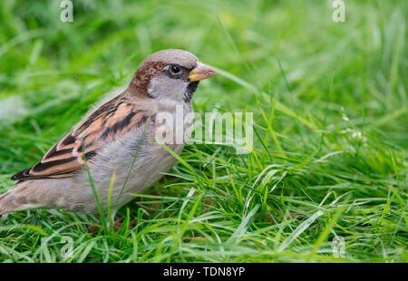 house sparrow, male, Western Pomerania Lagoon Area National Park, Fischland-Darss-Zingst, Mecklenburg-Western Pomerania, Germany, (Passer domesticus) - Stock Photo