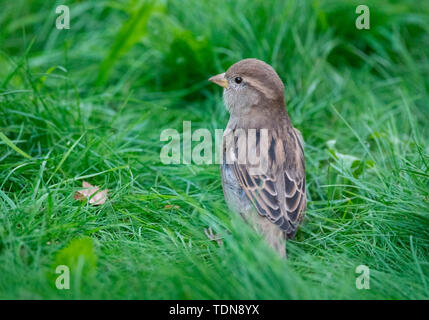 house sparrow, female, Western Pomerania Lagoon Area National Park, Fischland-Darss-Zingst, Mecklenburg-Western Pomerania, (Passer domesticus) - Stock Photo