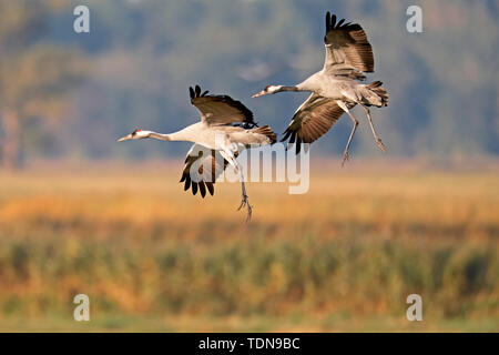 common crane, (Grus grus), wildlife, Nationalpark Vorpommersche Boddenlandschaft, Mecklenburg-Vorpommern, Germany - Stock Photo