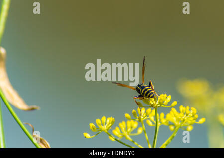 Wasp in flower on Remolar natural reserve in Barcelona, Catalonia, Spain - Stock Photo