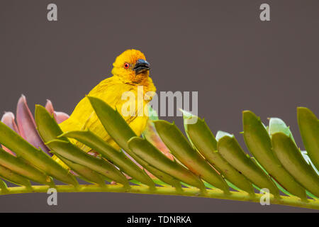 Male Eastern Golden Weaver bird Ploceus subaureus is common from Kenya to the Eastern Cape and as far inland as Malawi. Inhabits coastal plains, river - Stock Photo