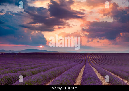 Lavender field at sunset near Valensole, Provence, France - Stock Photo