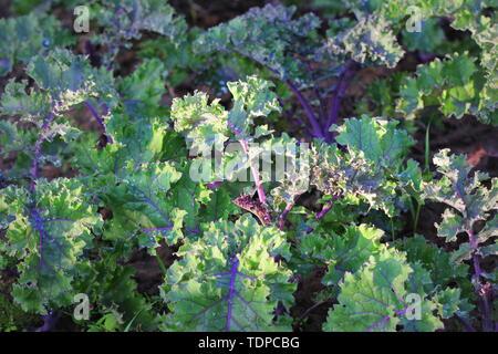 Green vegetable garden field planting red kale green in organic plantation farm - Stock Photo