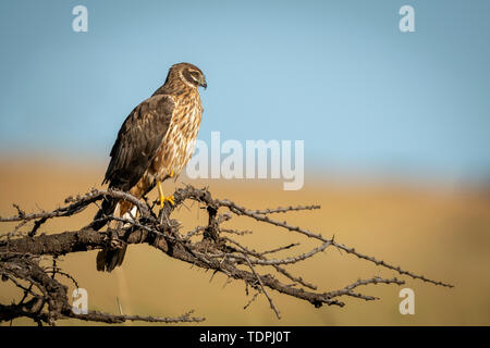 African marsh harrier (Circus ranivorus) perched on bare branch, Serengeti National Park; Tanzania - Stock Photo