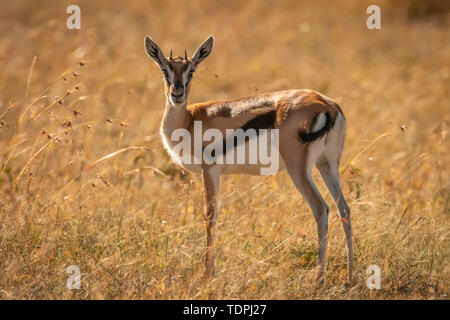 Young Thomson's gazelle (Eudorcas thomsonii) in grass watching camera, Serengeti National Park; Tanzania - Stock Photo