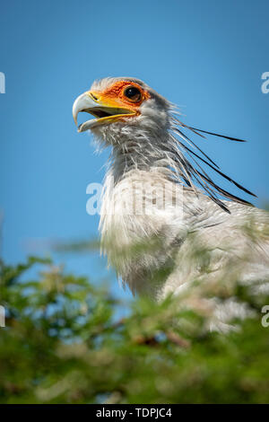 Close-up of secretary bird (Sagittarius serpentarius) with mouth open, Serengeti National Park; Tanzania - Stock Photo