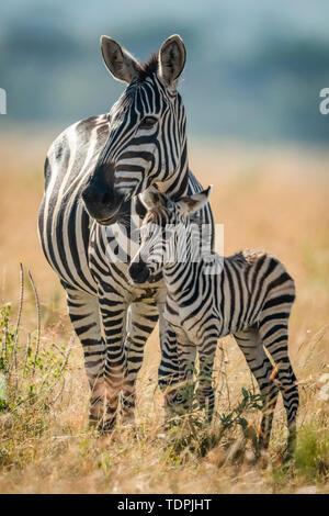 Plains zebra (Equus quagga) stands eyeing camera with foal, Serengeti National Park; Tanzania - Stock Photo