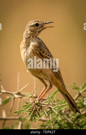 Grassland pipit (Anthus cinnamomeus) on thorny branch turning head, Serengeti National Park; Tanzania - Stock Photo