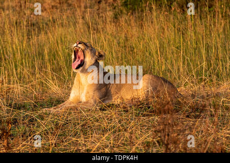 Lioness (Panthera leo) lies yawning in grass facing left, Serengeti National Park; Tanzania - Stock Photo
