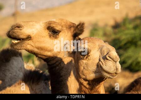 Close-up of two camels at the Monday livestock market; Keren, Anseba Region, Eritrea - Stock Photo