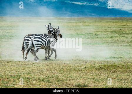Pair of Zebra (Equus grevyi) stallions fighting on dusty plains of Ngorongoro Crater, Ngorongoro Conservation Area; Tanzania - Stock Photo