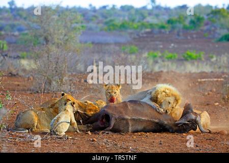 lion (Panthera leo), pride of lions feeding at killed buffalo, South Africa, Mpumalanga, Kruger National Park - Stock Photo