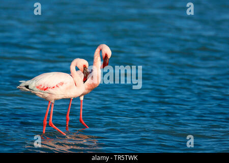 Lesser flamingo (Phoeniconaias minor, Phoenicopterus minor), two flamingos walking in shallow water, side view, South Africa, Western Cape, West Coast National Park - Stock Photo