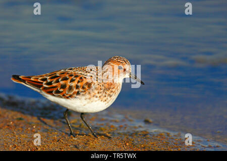 little stint (Calidris minuta), standing at a shore in breeding plumage, side view, Greece, Lesbos - Stock Photo