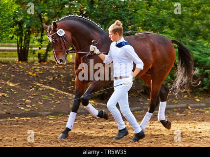 domestic horse (Equus przewalskii f. caballus), stallion parade on Landgestuet Warendorf, Germany, North Rhine-Westphalia, Muensterland, Warendorf - Stock Photo
