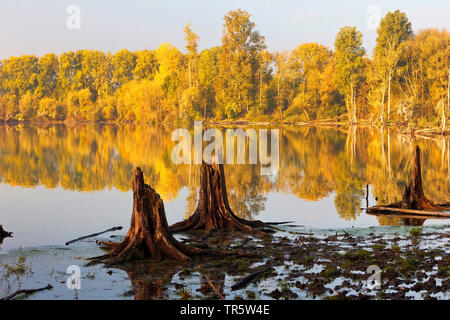 tree stumps in wetlands Bislicher Insel, Germany, North Rhine-Westphalia, Lower Rhine, Xanten - Stock Photo