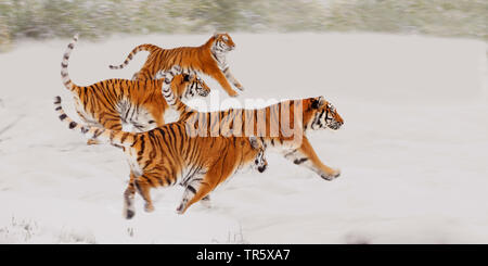 tiger (Panthera tigris), four tigers running together over a snow field, side view - Stock Photo