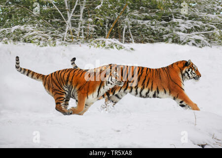 tiger (Panthera tigris), two tigers running together over a snow field, side view - Stock Photo