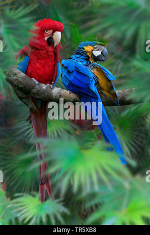 Green-winged Macaw (Ara chloroptera), sitting on a branch together with Blue-and-yellow macaw - Stock Photo