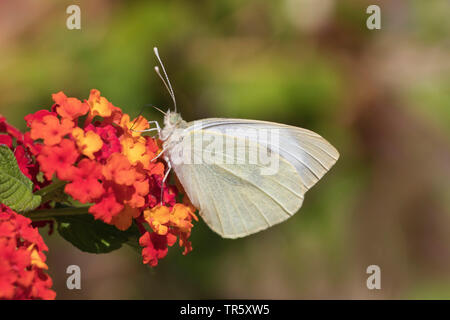 large white (Pieris brassicae), sucking nectar at big-sagem Lantana camara, Germany - Stock Photo