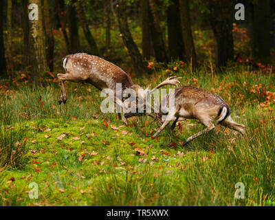 fallow deer (Dama dama, Cervus dama), fighting stags during the rut, Germany, Saxony - Stock Photo