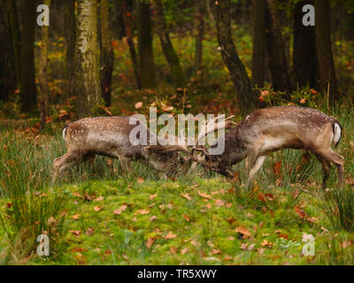 fallow deer (Dama dama, Cervus dama), fighting stags during the rut, side view, Germany, Saxony - Stock Photo