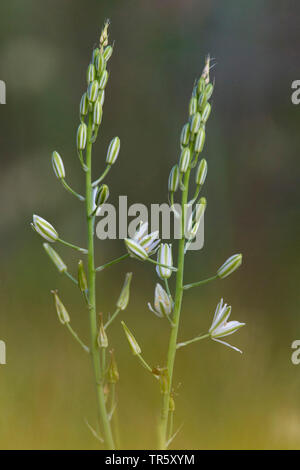 Narbonne star-of-Bethlehem, Pyramidal star-of-Bethlehem, Southern star-of-Bethlehem (Ornithogalum narbonense), inflorescences, Italy - Stock Photo