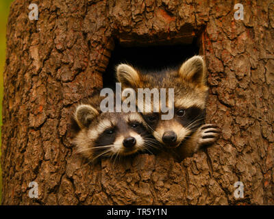 common raccoon (Procyon lotor), two raccoons looking together out a tree hole, portrait, Germany, Bavaria - Stock Photo